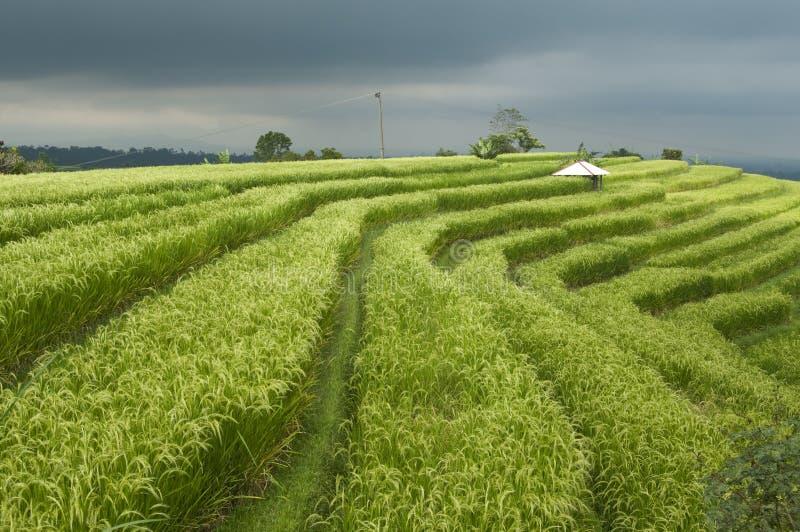 Stormy Rice Paddy Field royalty free stock photo