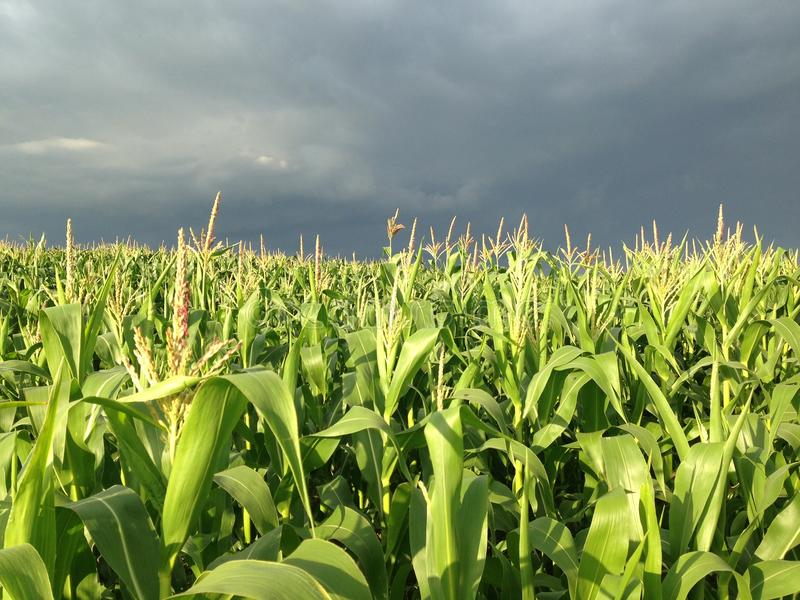 Stormy skies over cornfield stock photography
