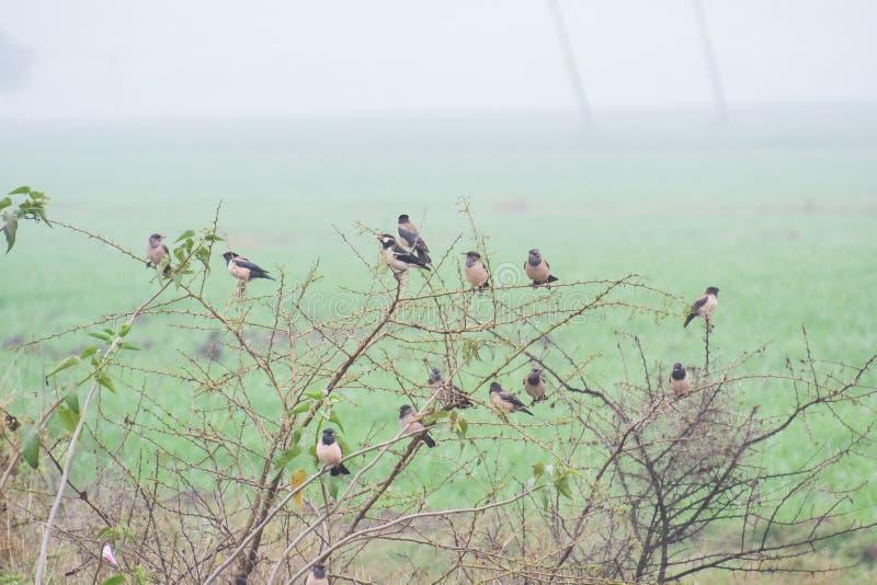 Storno e Rosy Starling Flock pezzati asiatici immagini stock libere da diritti