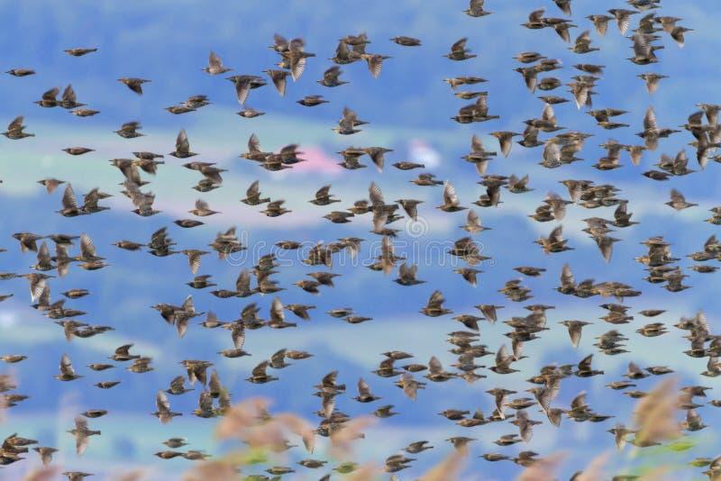 Storno europeo o comune, sturnus vulgaris, volo dello stormo dell'uccello, Neuchatel, Svizzera immagine stock