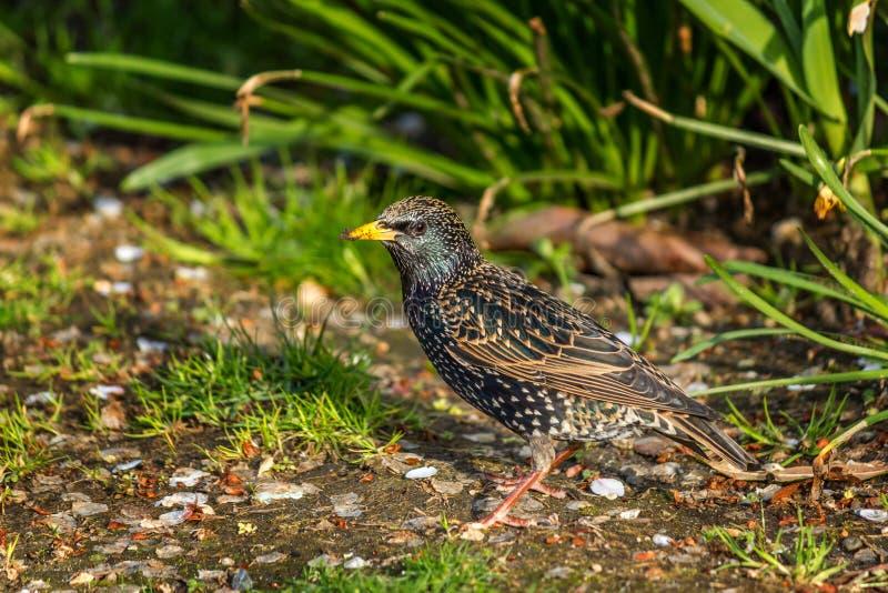 Storno europeo, Sturnus vulgaris, uccello scuro immagini stock