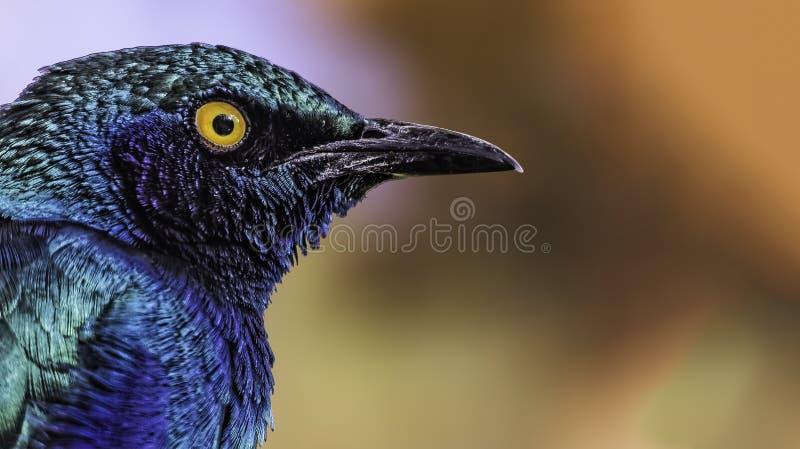 Storno lucido porpora (purpureus di Lamprotornis) immagine stock libera da diritti