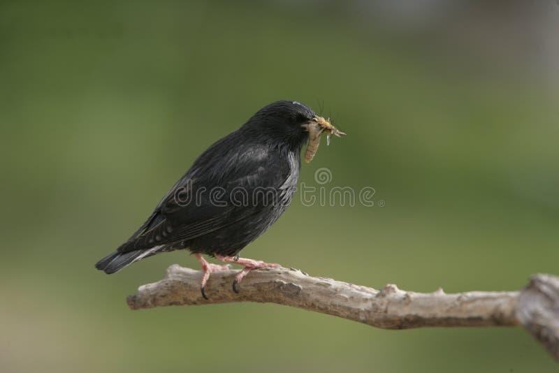 Storno nero, Sturnus monocolore fotografie stock libere da diritti