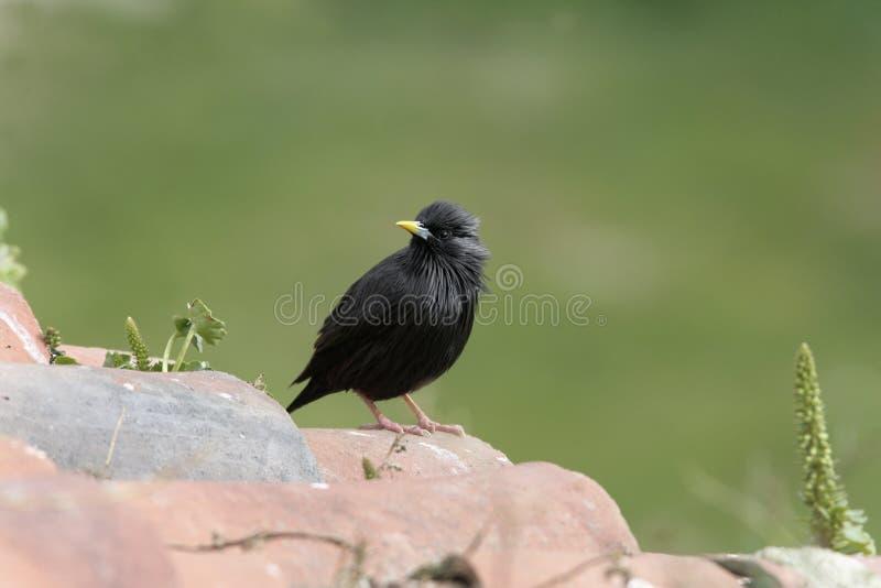 Storno nero, Sturnus monocolore fotografia stock libera da diritti