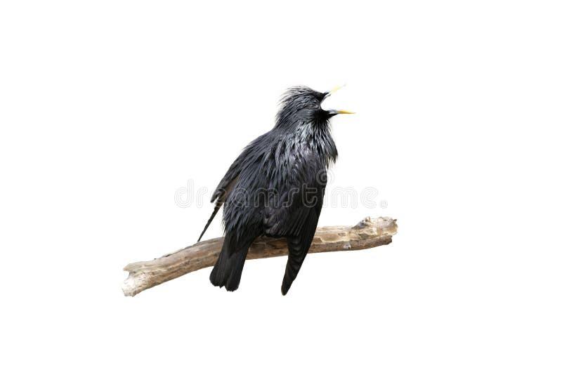 Storno nero, Sturnus monocolore fotografia stock