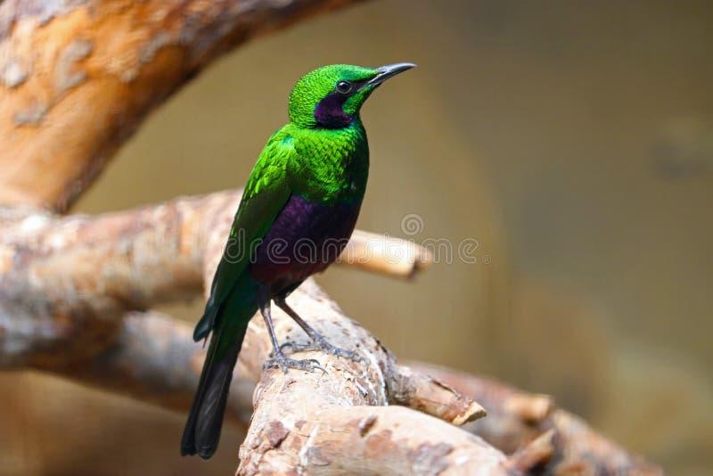 Storno verde smeraldo verde e porpora metallico che si siede su un ramo fotografia stock libera da diritti