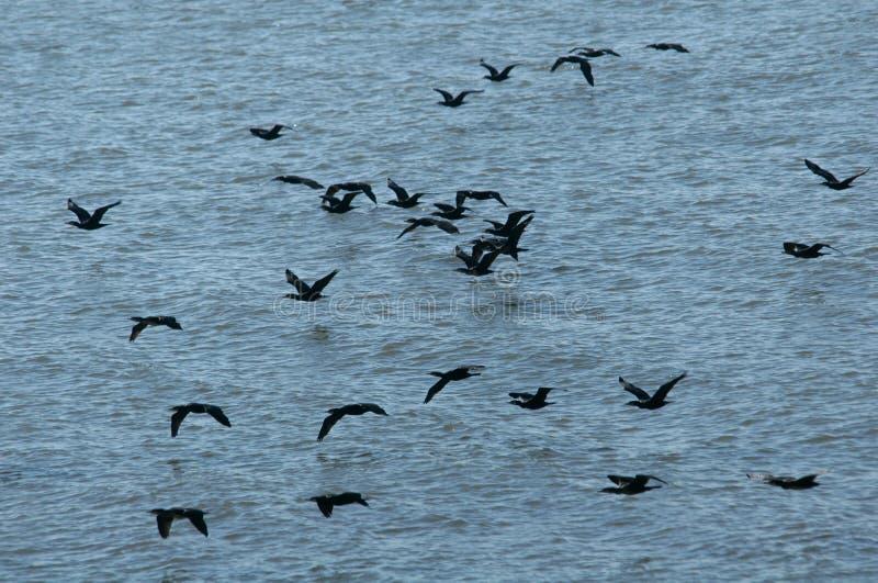 storslagna cormorants arkivbilder