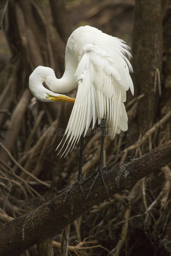 Stort ägretthägeranseende på en filial som putsar i evergladen för Florida ` s arkivfoto