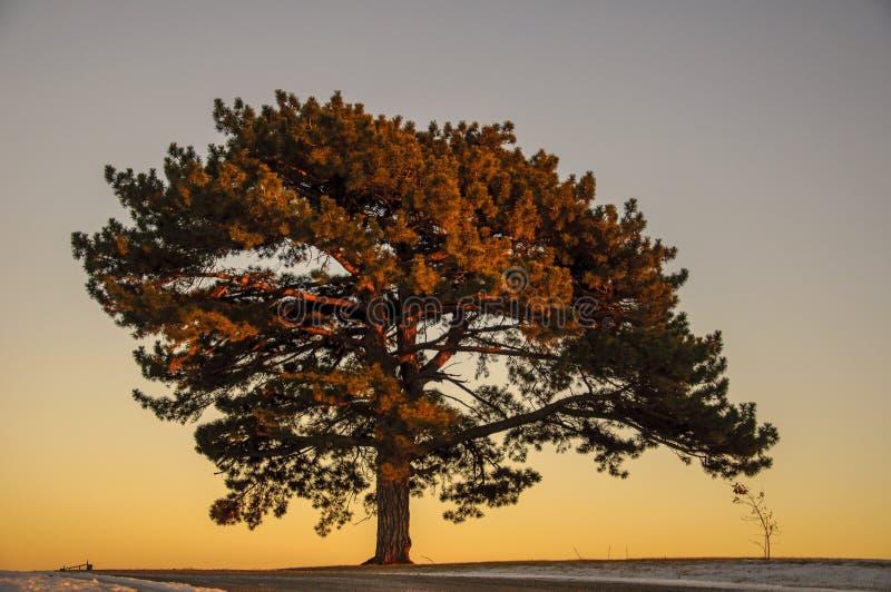 Stort almträd royaltyfri foto