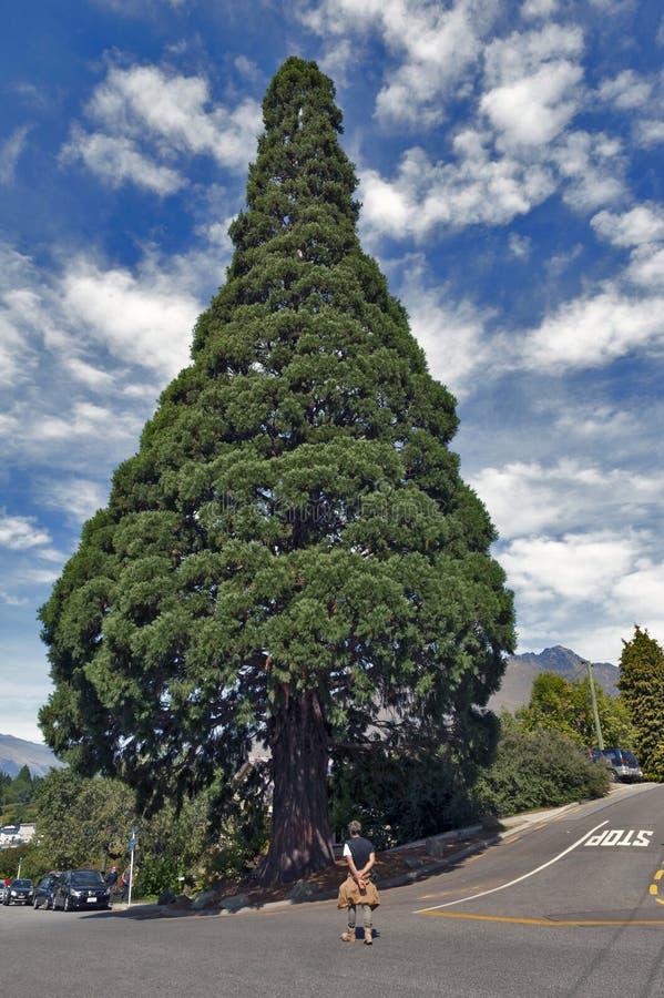 Stort anseende för cederträträd i stadmitt av Queenstown, Nya Zeeland arkivbild