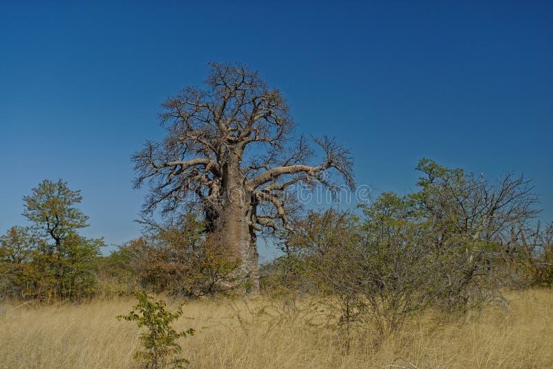 Stort Baobabträd, Botswana, Afrika arkivbild