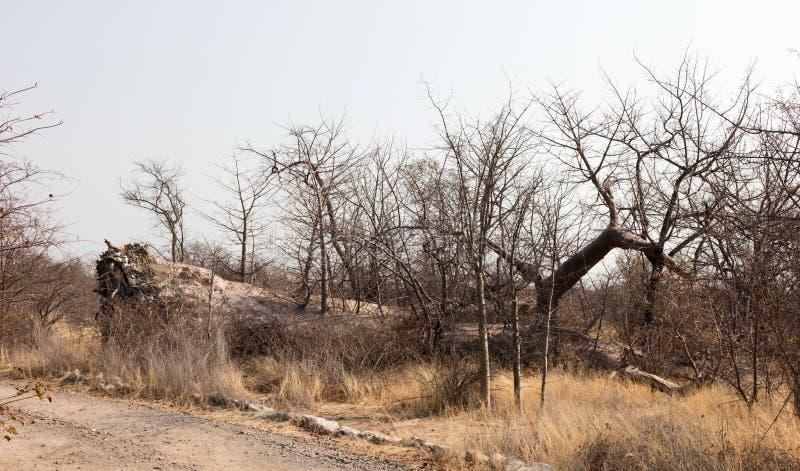 Stort baobabträd som är stupat i Botswana arkivbilder