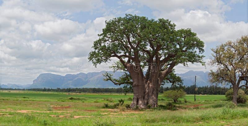 Stort baobabträd som är västra av Hoedspruit, Sydafrika arkivbilder