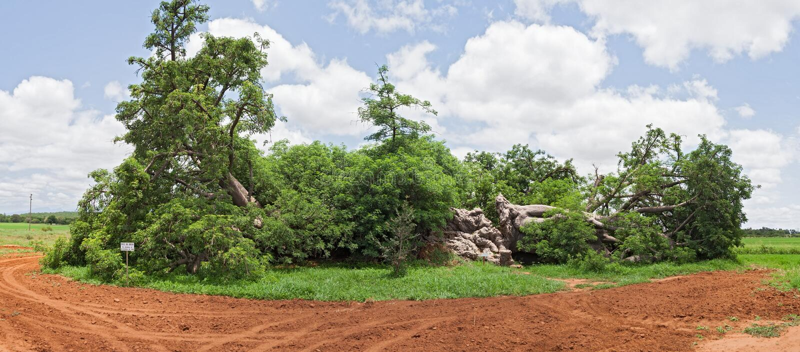 Stort baobabträd som är västra av Hoedspruit, Sydafrika arkivbild