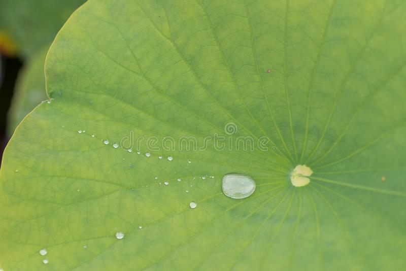 Stort blad och liten vattendroppe royaltyfri fotografi