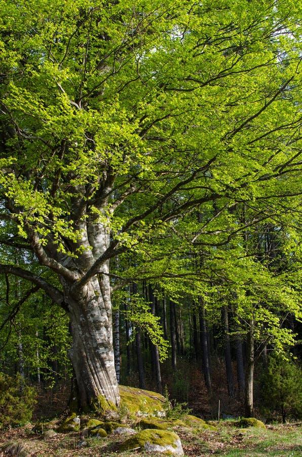 Stort bokträdträd arkivfoton
