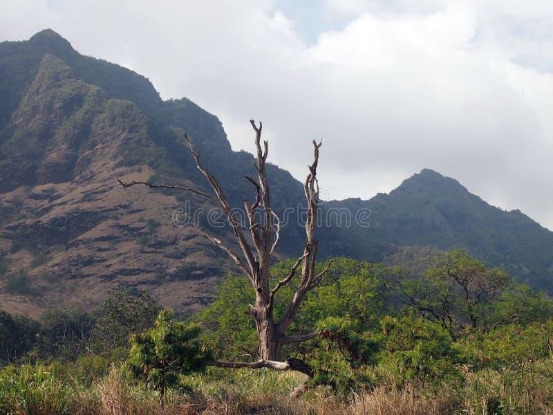 Stort dött träd som omges av annat träd och borste och berg arkivfoton