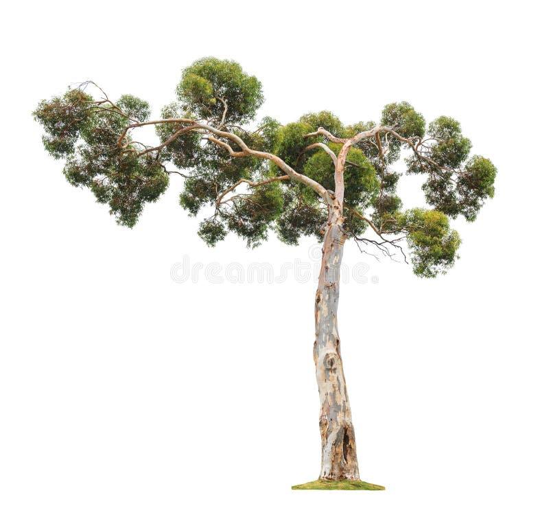 Stort eukalyptusträd royaltyfri bild