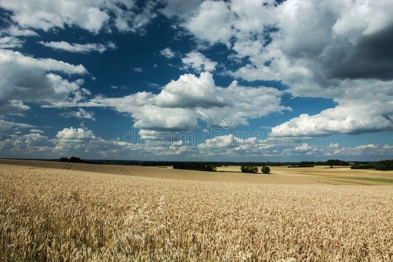 Stort fält av korn, skogar på horisonten och moln i set royaltyfria foton