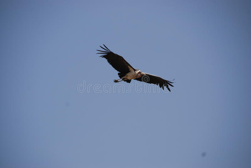 stort fågelflyg royaltyfri fotografi