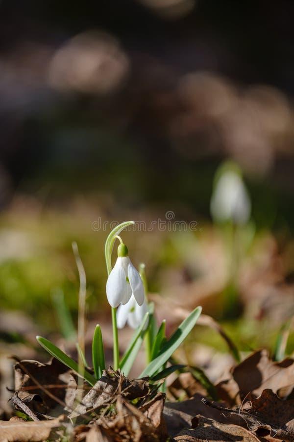stort f?lt av sn?droppeblommor i v?rgr?splan?ng i skog royaltyfria bilder