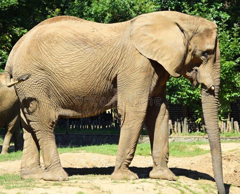 Stort gå för elefant som är utomhus- arkivfoton