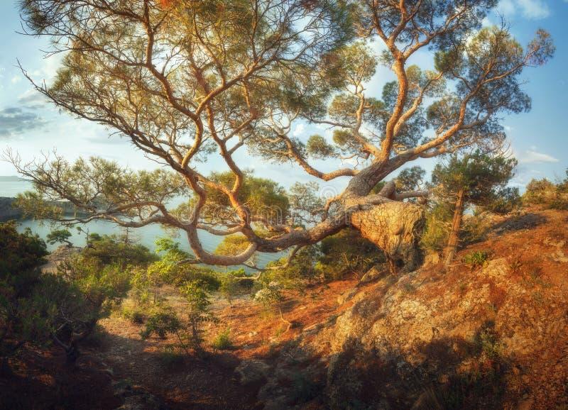 Stort gammalt träd i berg på soluppgång panorama- härlig liggande arkivbild