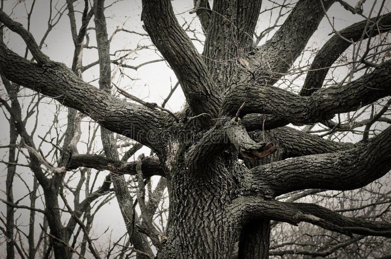 Stort gammalt träd i vinter royaltyfria bilder