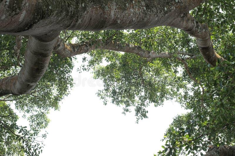 Stort gammalt träd med bladet fotografering för bildbyråer