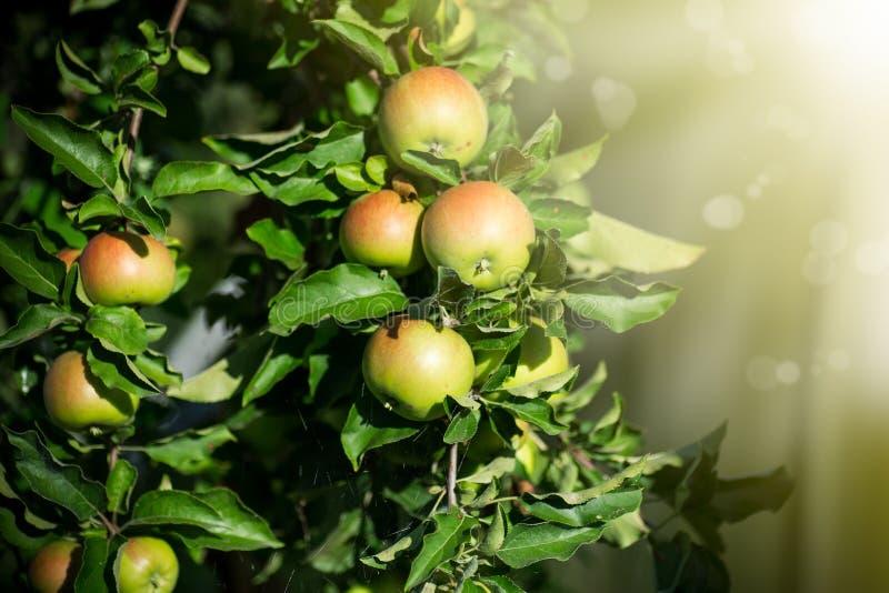 Stort grönt äpple på ett äppleträd royaltyfria bilder