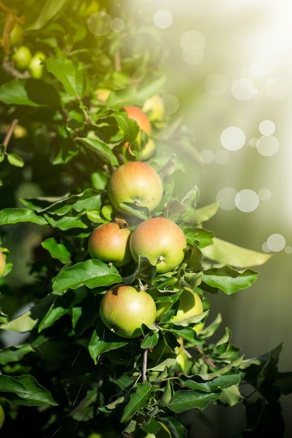 Stort grönt äpple på ett äppleträd royaltyfri fotografi