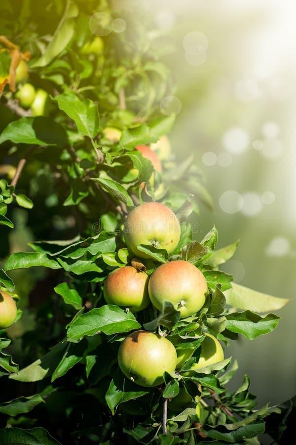 Stort grönt äpple på ett äppleträd arkivbild