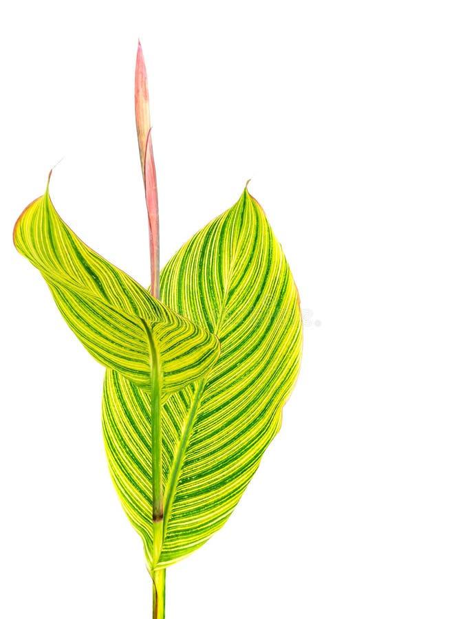Stort grönt blad för Calathea ornata som isoleras på vit bakgrund w arkivfoto