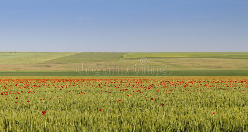 Stort grönt fält med många spridda vallmo arkivfoton