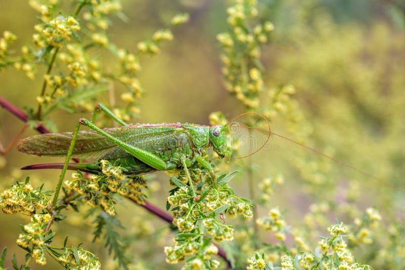 Stort grönt gräshoppasammanträde på en grön växt royaltyfri fotografi