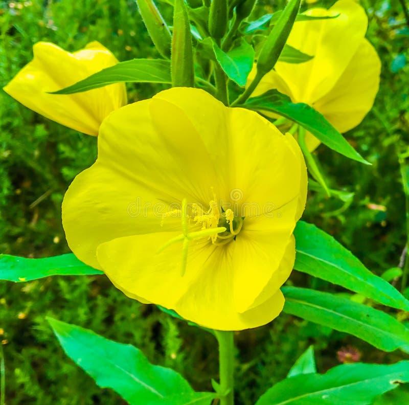 Stort gult härligt slut för nattljusblommamakro upp botaniskt skott royaltyfria foton
