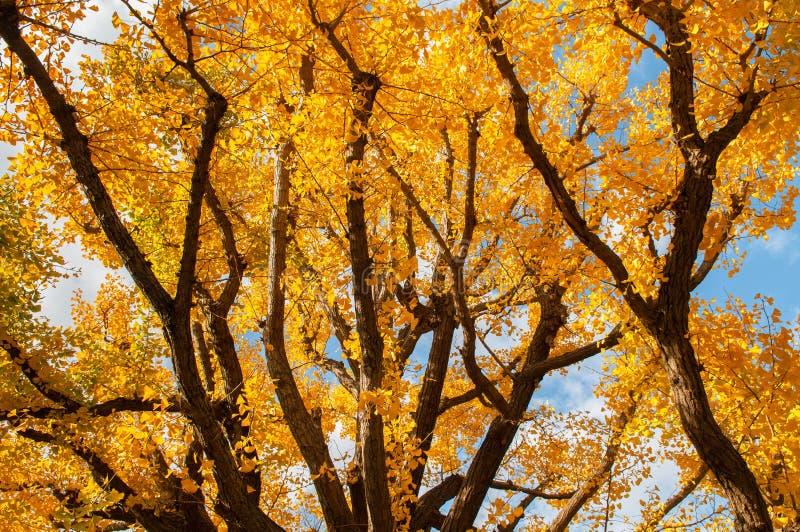 Stort gult höstGingo träd mot solljus - Ueno parkerar, Tokyo den härliga säsongen arkivfoton