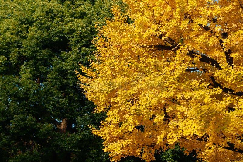 Stort gult höstGingo träd och grönt träd - Ueno parkerar, Tokyo den härliga säsongen arkivfoton