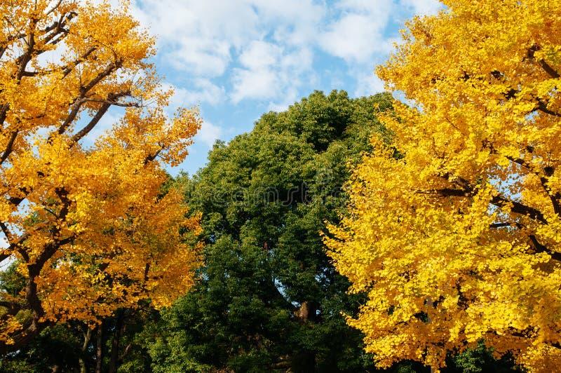 Stort gult höstGingo träd och grönt träd - Ueno parkerar, Tokyo den härliga säsongen royaltyfri foto