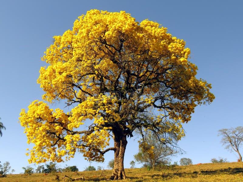 Stort gult träd Ipê gult träd som täckas i blommor & x28; Handroanthus albus& x29; royaltyfria foton