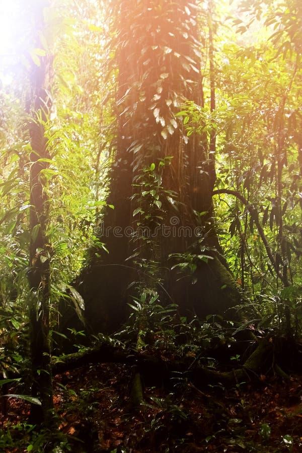 Stort härligt ensamt träd i regnskogen av den Borneo ön Symbios av växter Bild i gröna färger arkivfoton