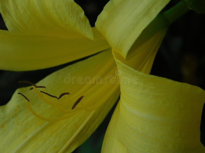 Stort härligt gult blommaslut upp fotografering för bildbyråer