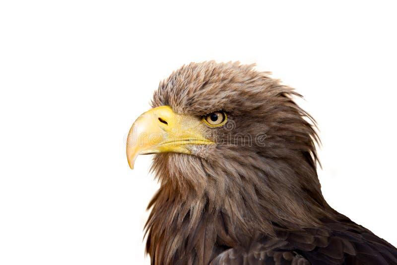 Stort hav Eagle & x28; Haliaeetusalbicill& x29; royaltyfri fotografi