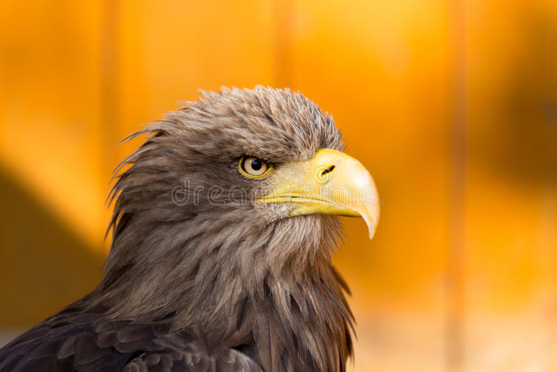 Stort hav Eagle & x28; Haliaeetusalbicill& x29; royaltyfri bild