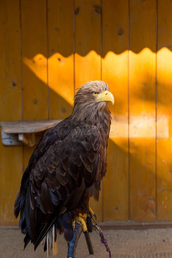 Stort hav Eagle & x28; Haliaeetusalbicill& x29; fotografering för bildbyråer