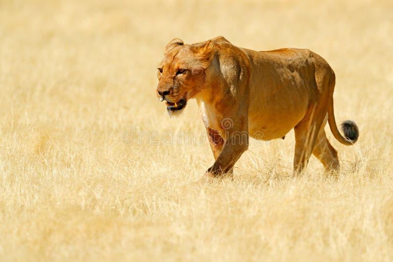 Stort ilsket kvinnligt lejon i Etosha NP, Namibia Afrikanskt lejon som går i gräset, med härligt aftonljus Djurlivplats från arkivbilder