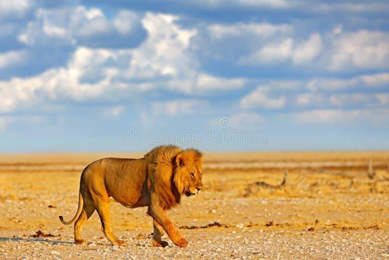 Stort ilsket manligt lejon i Etosha NP, Namibia Afrikanskt lejon som g?r i gr?set, med h?rligt aftonljus Djurlivplats fr?n arkivfoto
