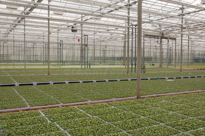 stort komplicerat holländskt växthus många växter arkivfoton