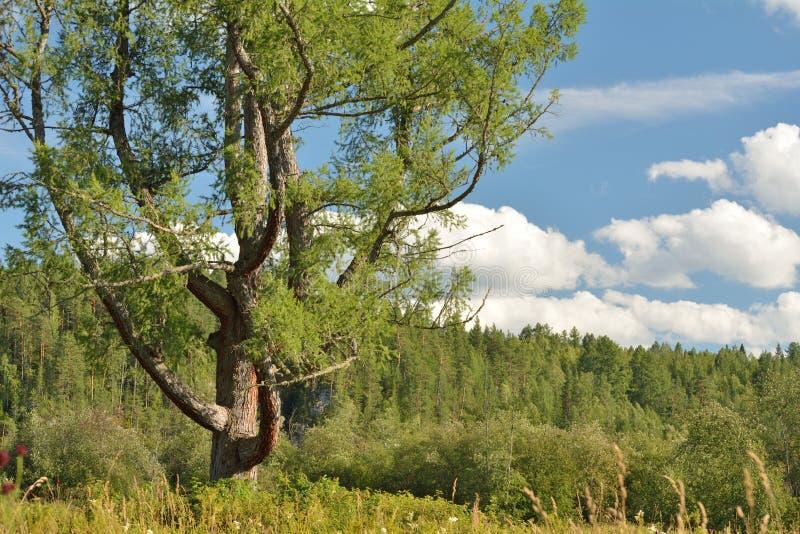 Stort lärkträd med blå himmel och moln royaltyfria bilder