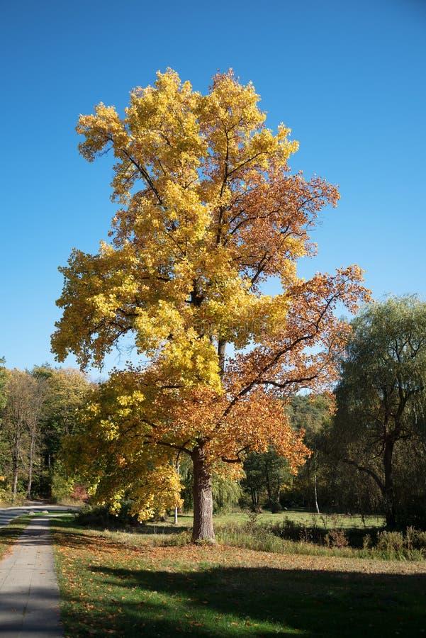 Stort lönnträd med guld- och röda höstsidor i soligt PA royaltyfria bilder